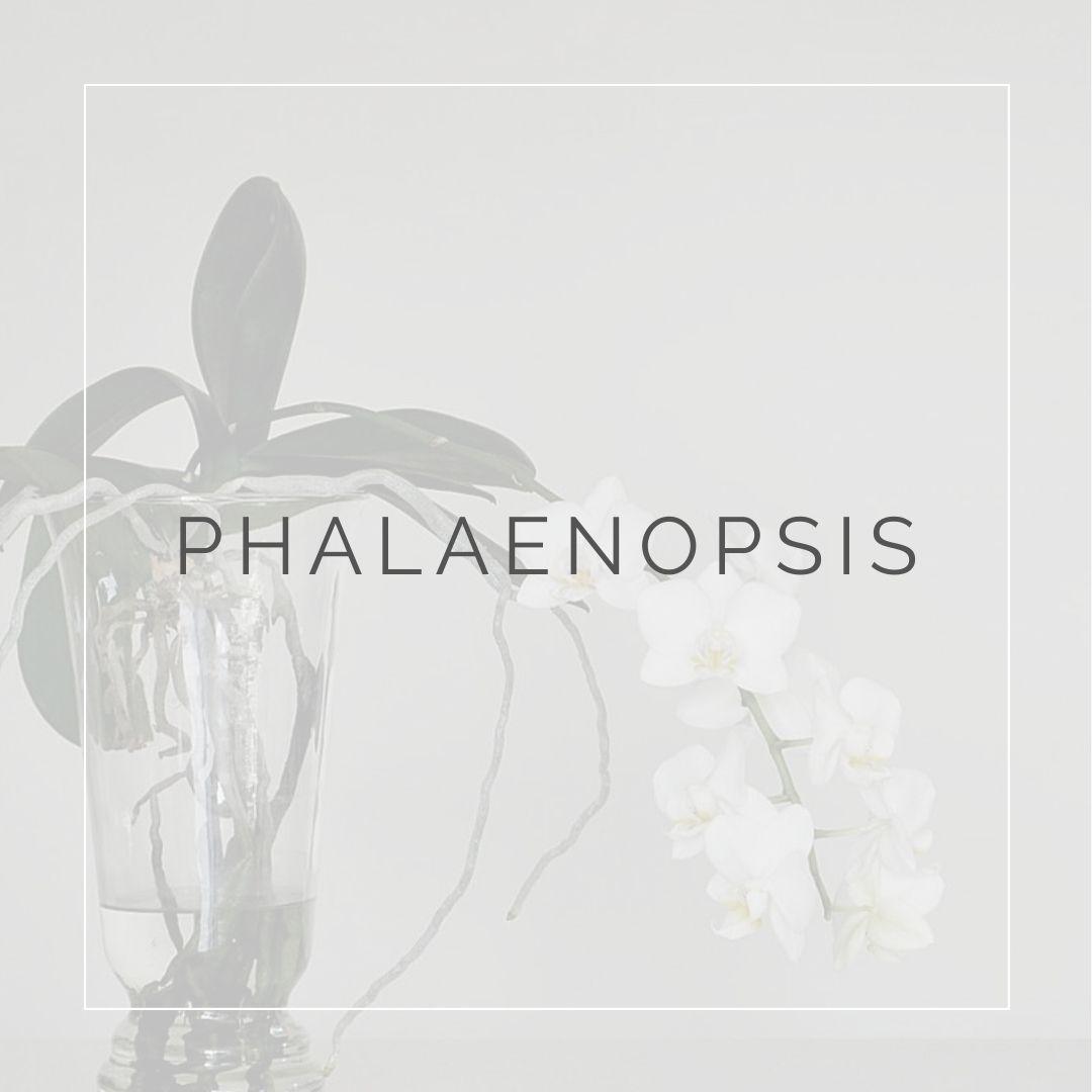 orchidea Phalaenopsis_I Giardini di Ellis