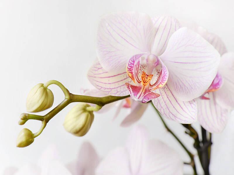 Orchidea PHALAENOPSIS_Giardini di Ellis