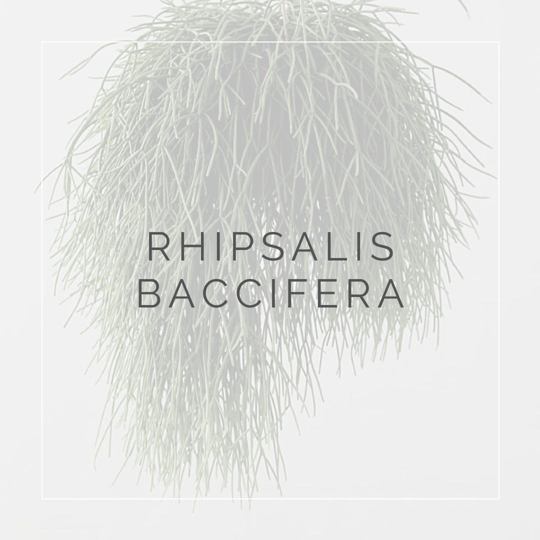 RHIPSALIS BACCIFERA_I Giardini di Ellis