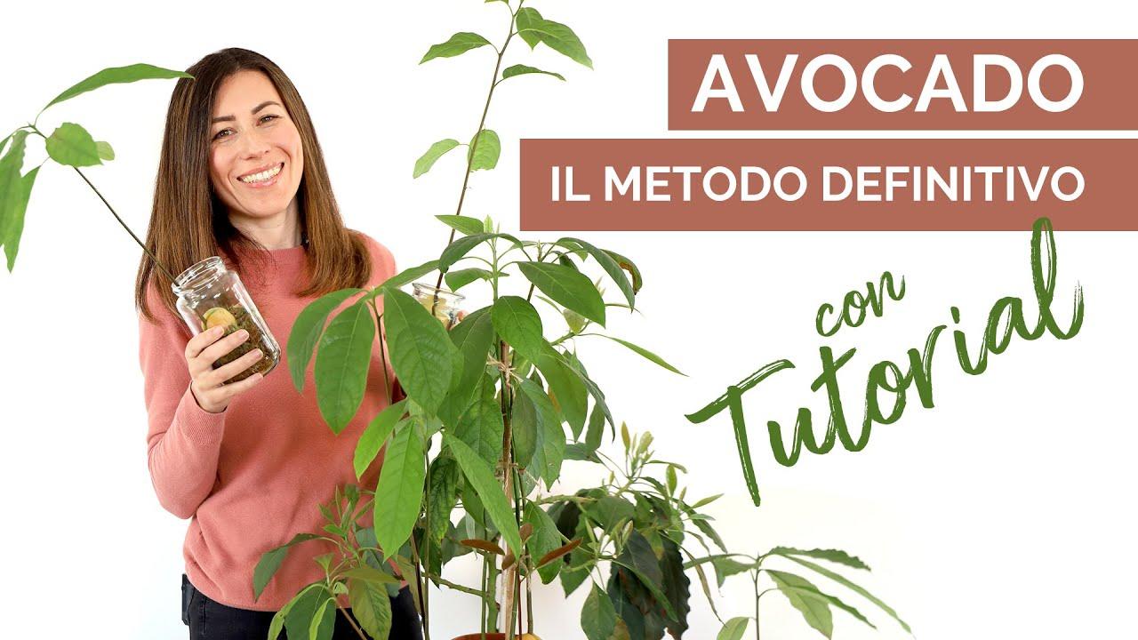 come coltivare una pianta di avocado