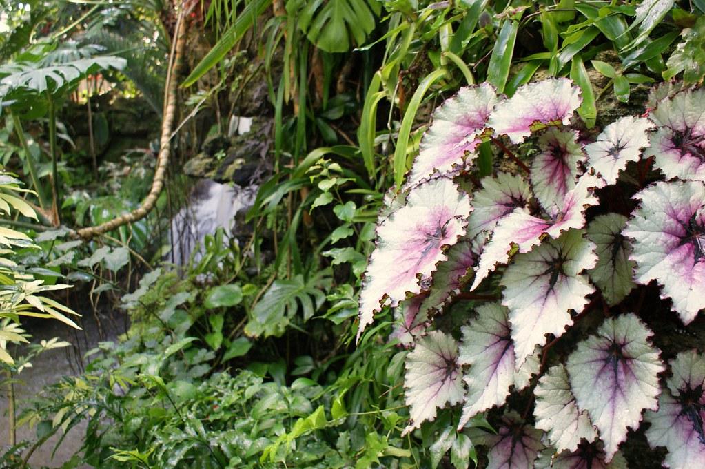 BEGONIA REX_I Giardini di Ellis