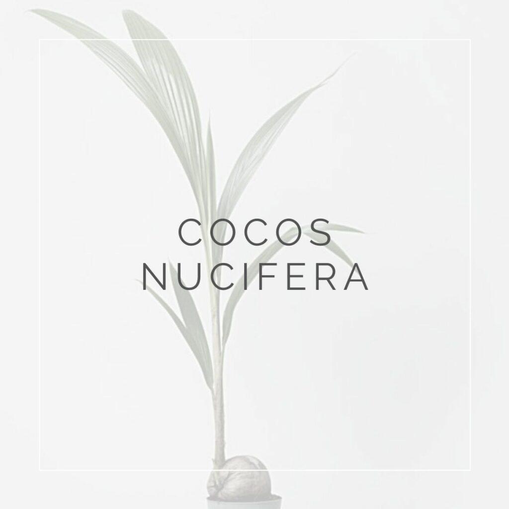 COCOS NUCIFERA_I Giardini di Ellis