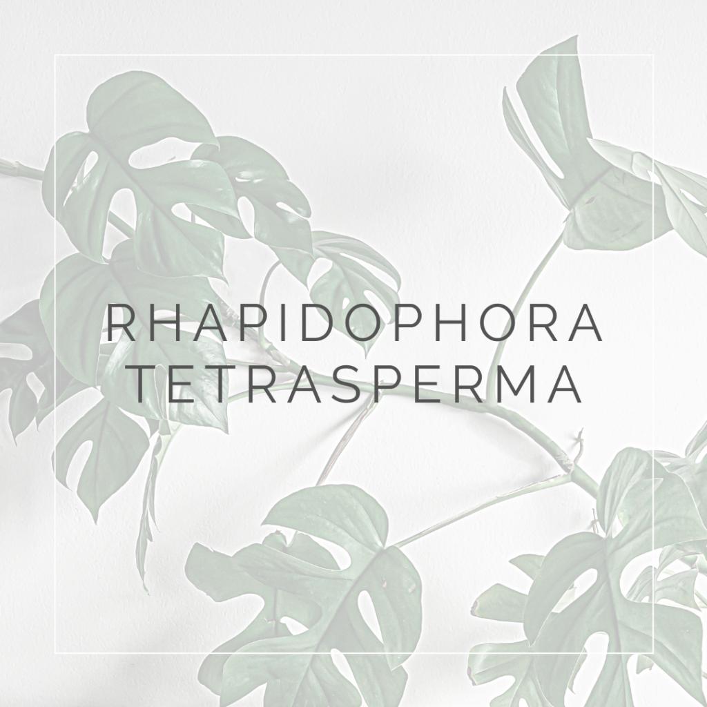 RHAPIDOPHORA TETRASPERMA_I Giardini di Ellis