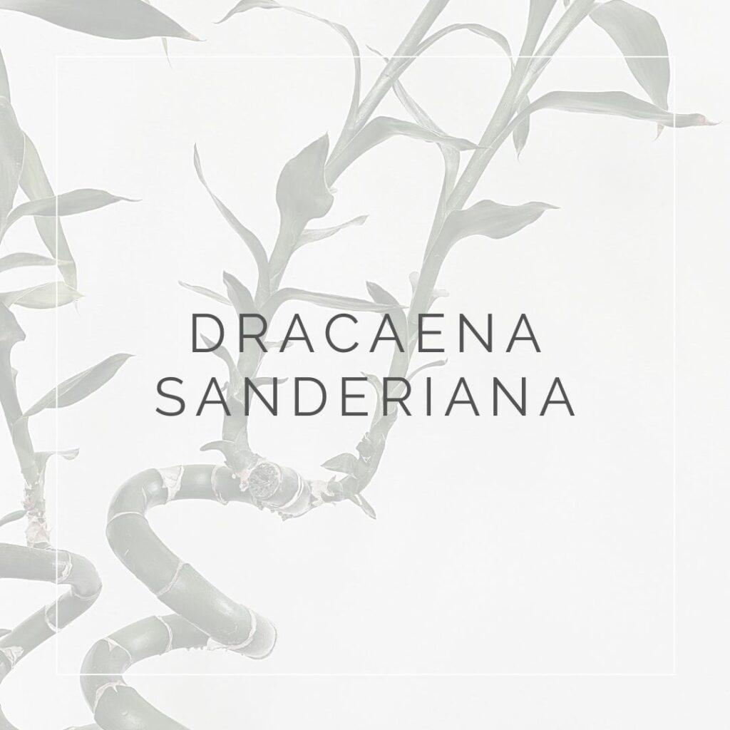 DRACAENA SANDERIANA_I Giardini di Ellis
