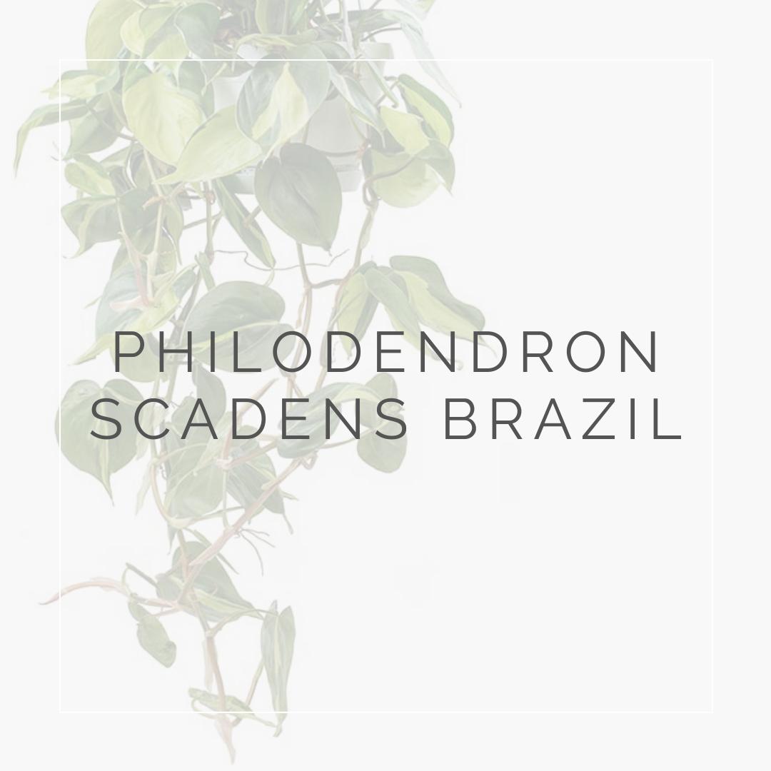 PHILODENDRON SCADENS_I Giardini di Ellis