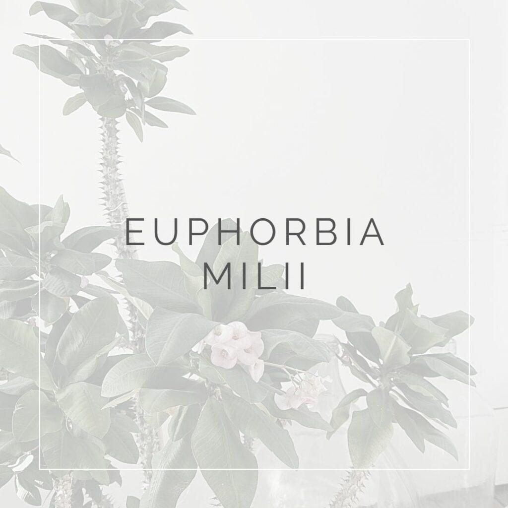 EUPHORBIA MILII_I Giardini di Ellis