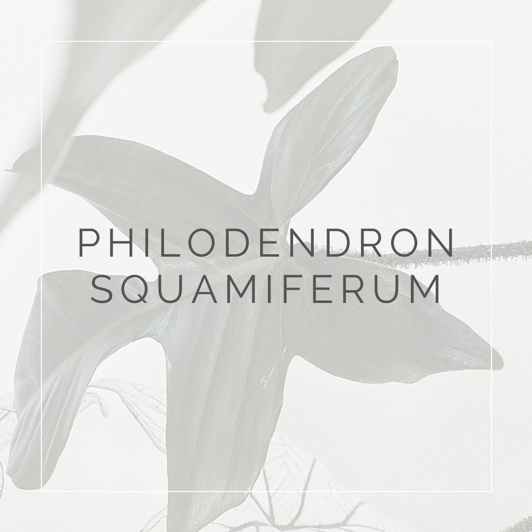 PHILODENDRON SQUAMIFERUM_PLANT FOCUS