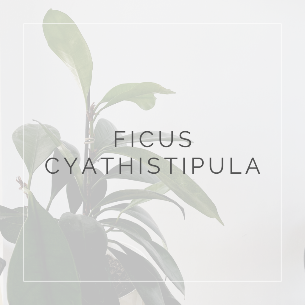 FICUS CYATHISTIPULA_I Giardini di Ellis