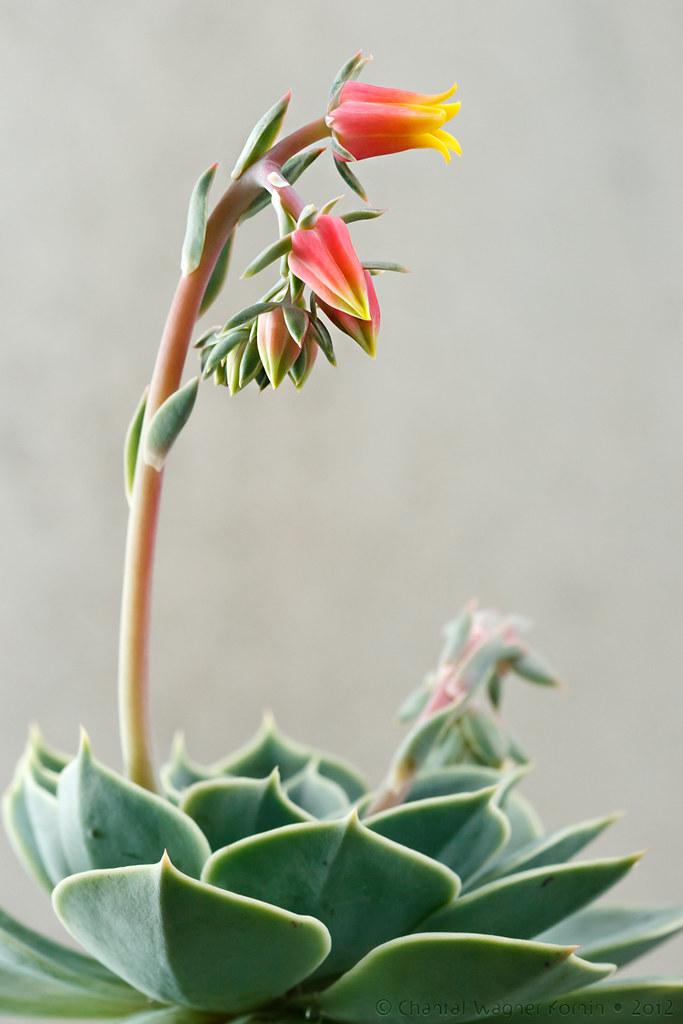 Echeveria Lilacina_I Giardini di Ellis