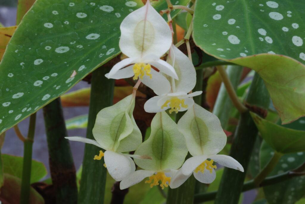 begonia maculata_I Giardini di Ellis